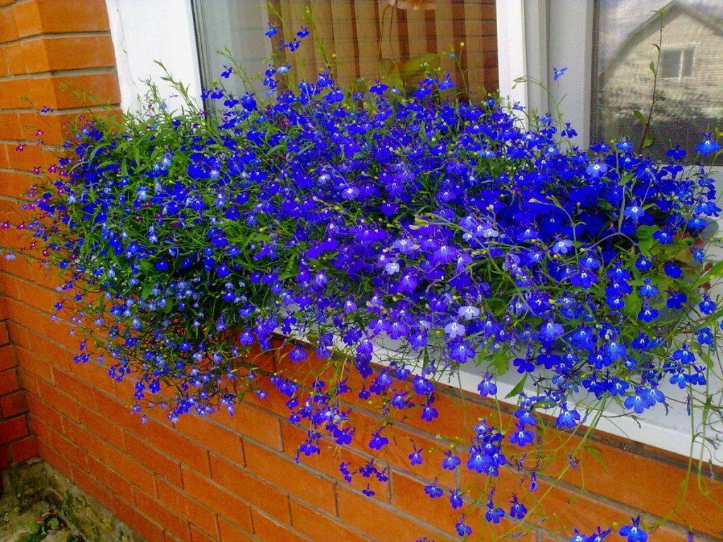 Балконные однолетние цветы фото и названия