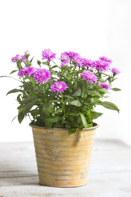 Несмотря на то что астры садовые цветы, их можно выращивать в качестве горшечного растения.