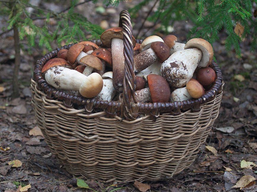 Хороший улов грибов