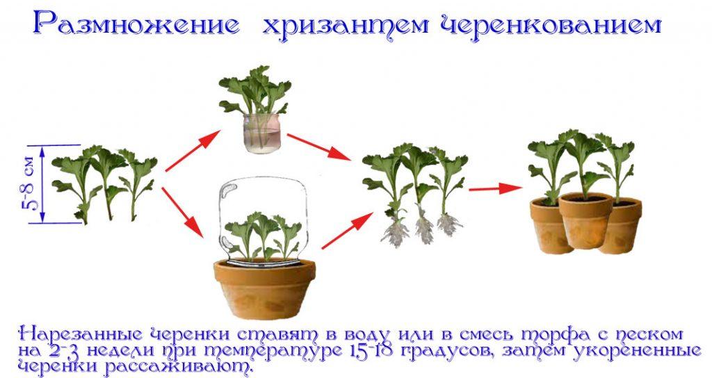 Выращивание хризантем из черенков из букета 61
