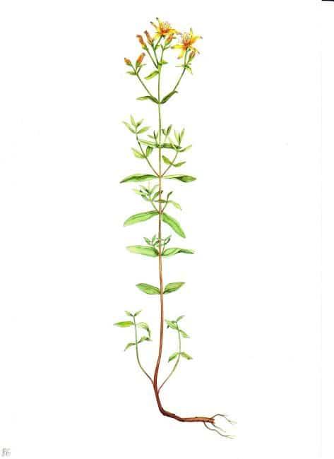Веточку зверобоя носили с собой воины, считая, что это растение уберегает от тяжёлых ранений и укрепляет силу воли.