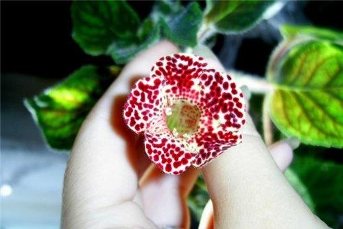 Крошечный цветочек мини-глоксинии