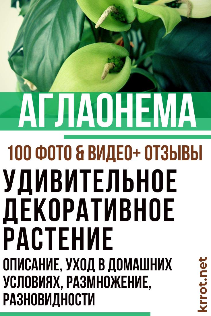 Аглаонема Фридман: описание растения, фото, уход за цветком