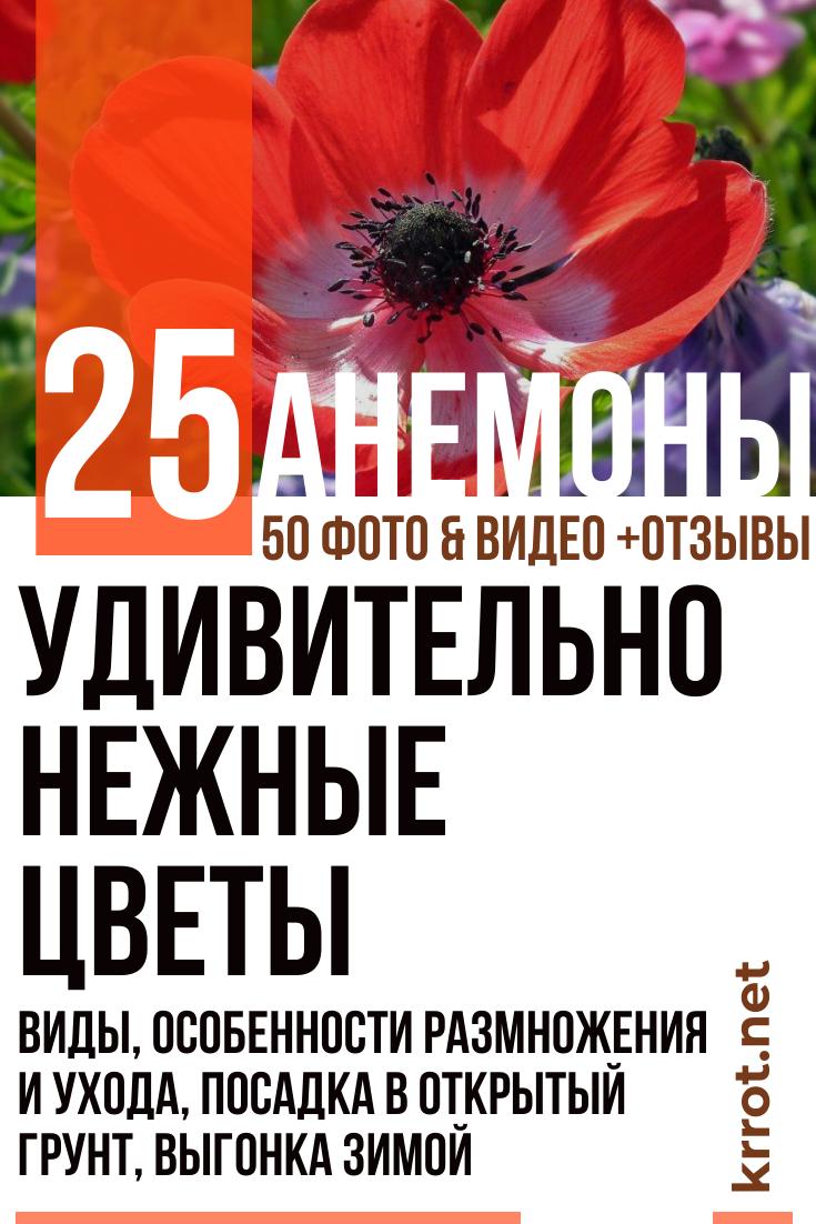 Анемоны - посадка и уход в открытом грунте Сибири весной и осенью фото видео