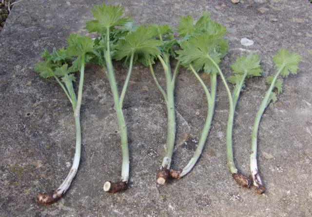 Для черенков используют молодые растения, удалённые при прореживании куста весной или верхнюю верхушку цветоноса до появления на нём бутонов (7-10 см).