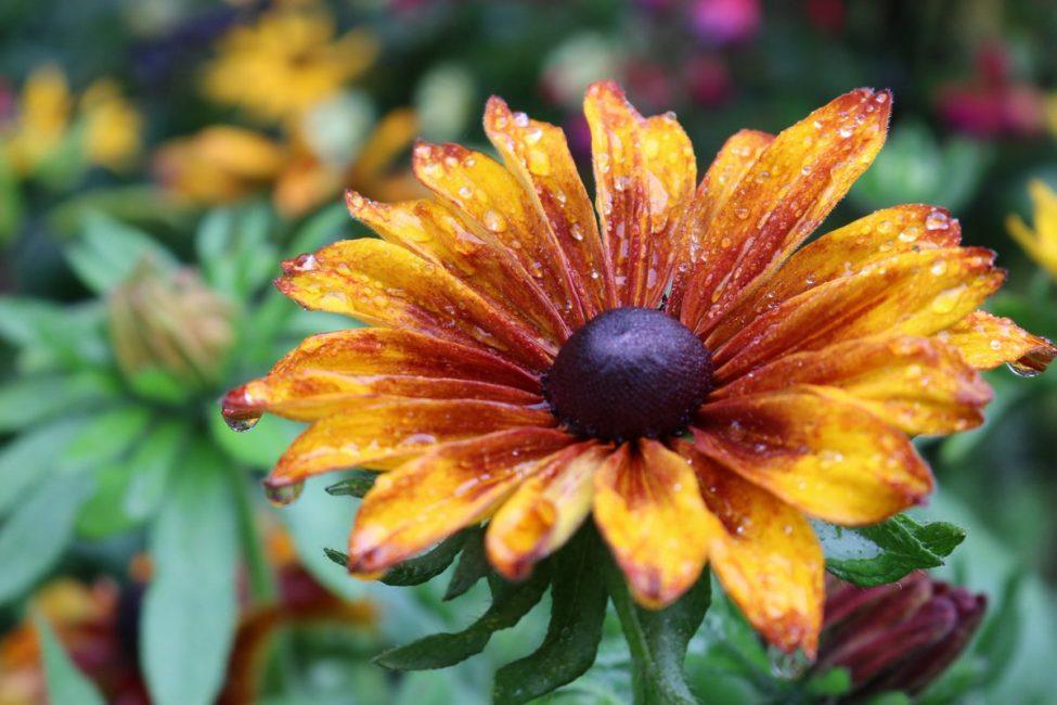 Рудбекия Капучино – необычная и оригинальная расцветка радует взгляд и создает праздничное настроение.