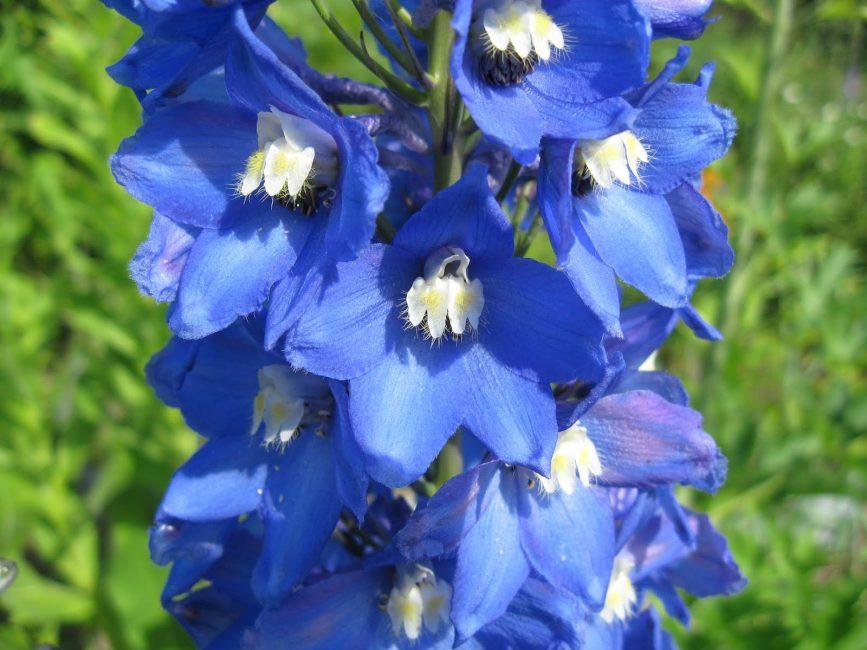 Delphinium elatum Blue White Bee