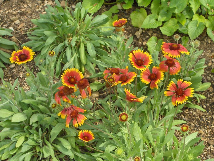 Gaillardia hybrida