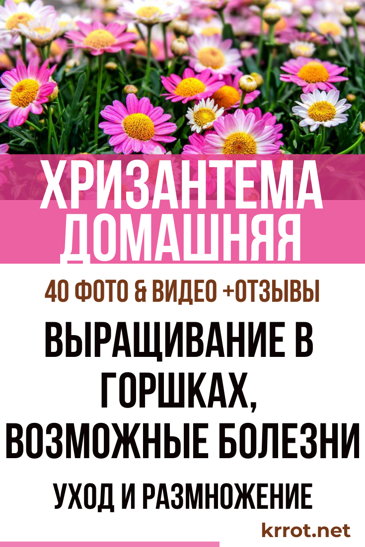 Когда цветет домашняя хризантема