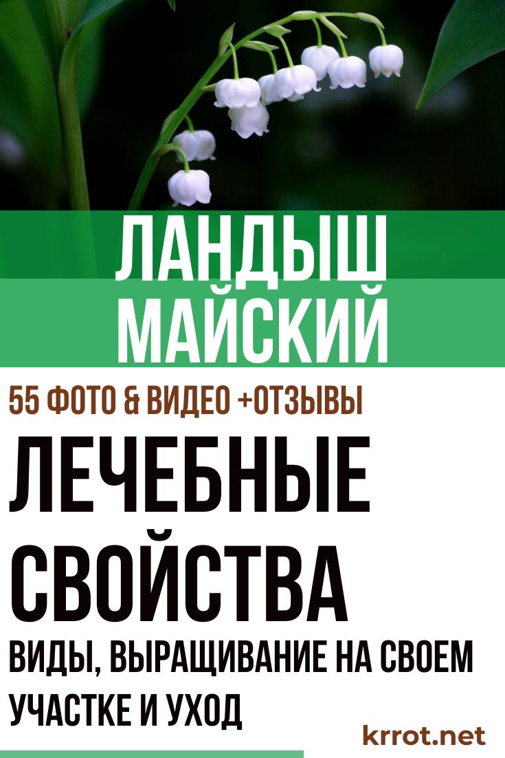 Как выглядит и полное описание растения ландыш. Как вырастить ландыш майский в огороде: описание, фото, виды сортов Как растут ландыши в лесу
