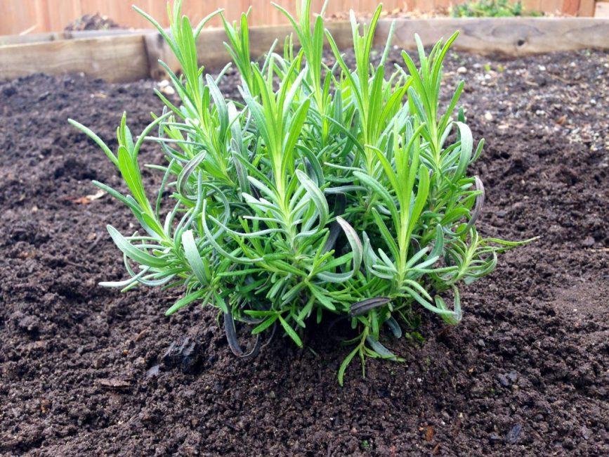 Молодое растение (Лаванда) в открытом грунте