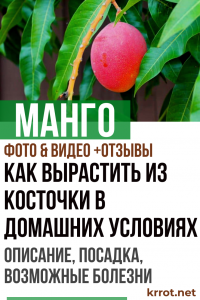 Манго: описание, посадка и выращивание из косточки в домашних условиях, возможные болезни (Фото & Видео) +Отзывы