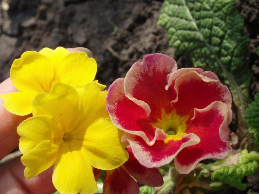 Примула в цветении. Очень нежная расцветка согревает теплом.