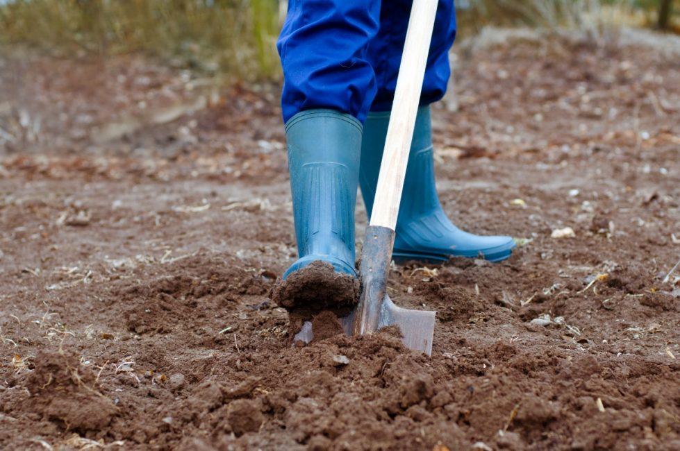 Осенью (обычно в сентябре-августе) необходимо перекопать участок на глубину 15-20 см и полностью очистить его от сорняков