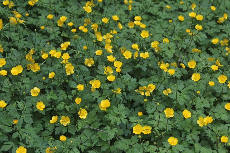 Ползучий или Ranunculus repens