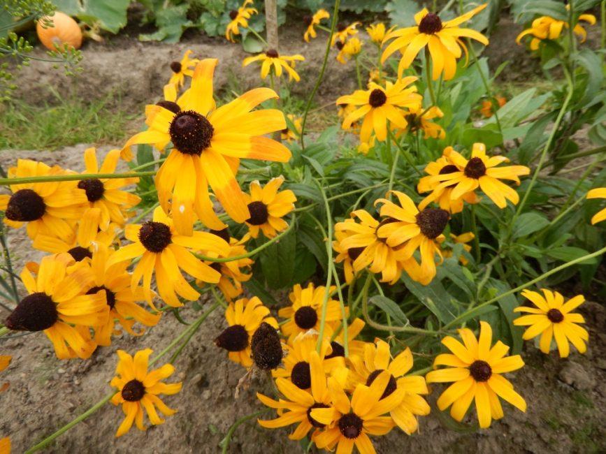 Сорт Янтарь. Действительно, растение похоже на капли янтаря.