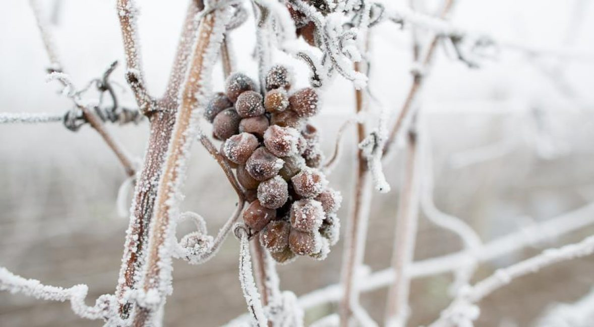 Виноград не переносит резких перепадов температуры.