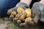 Выращивание картофеля из семян