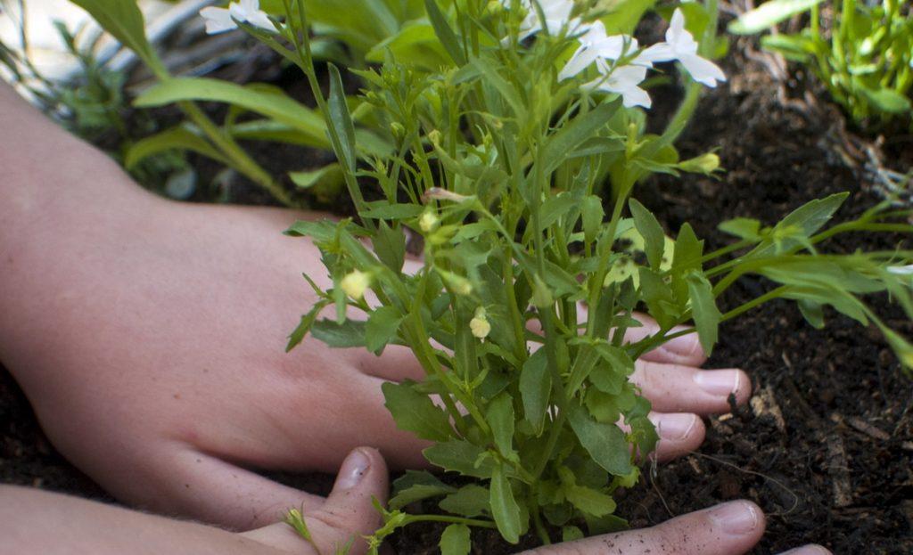 Выращивание лобелии из семян. Посадка и уход в домашних условиях 42