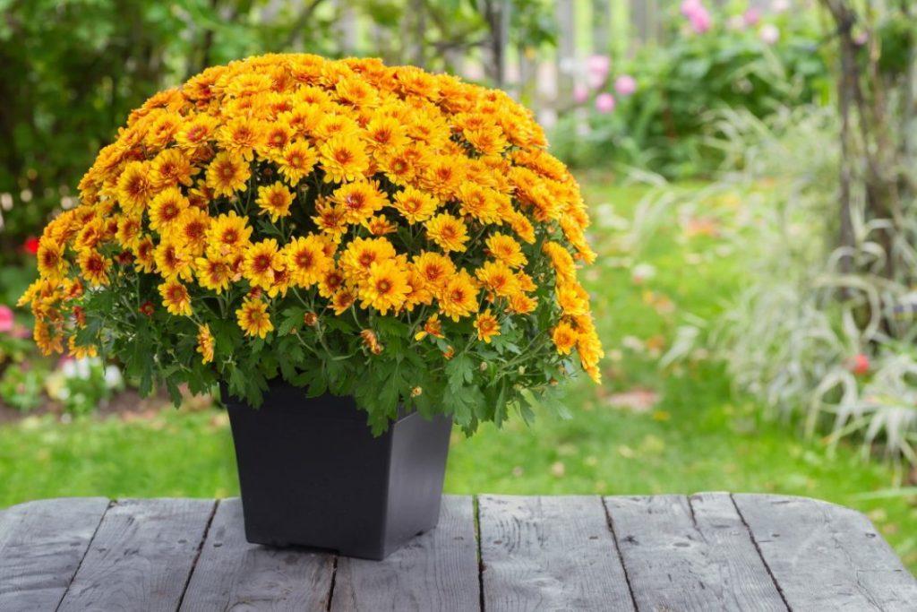 Чтоб на окне иметь красивый цветок как в магазине куст хризантемы необходимо формировать