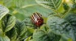 средство от колорадского жука