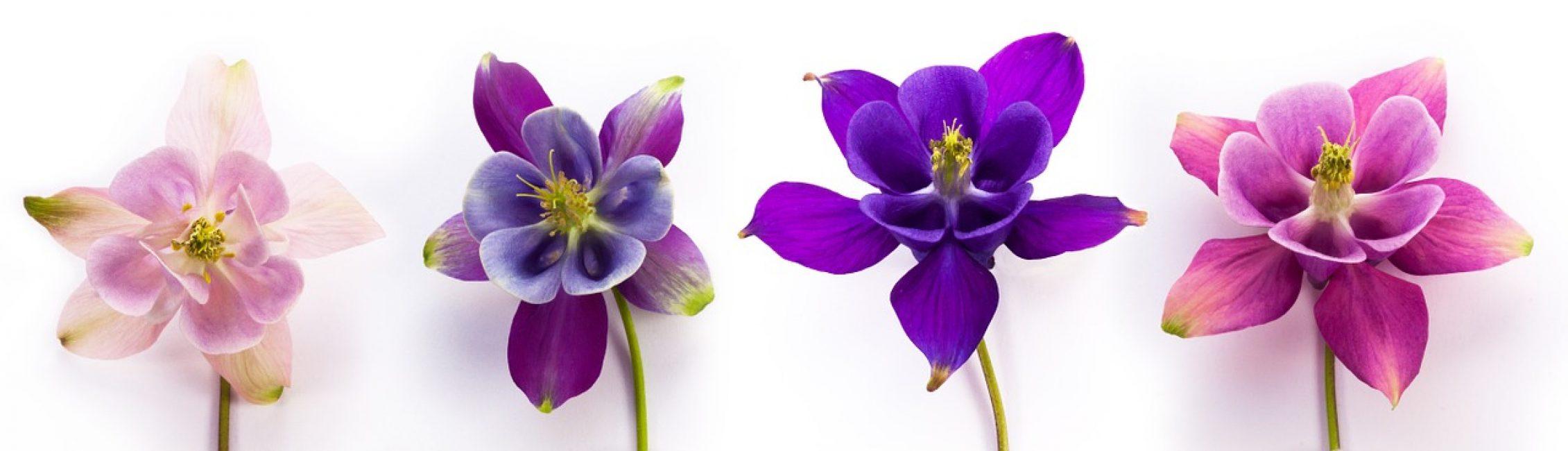 Цветы водосбора
