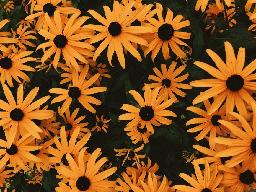 Очаровательная рудбекия пришла к нам с Северной Америки и покорила сердца садоводов свое непревзойденной красотой.