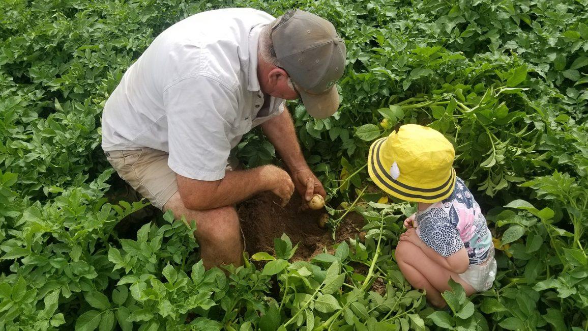 Приобщение младшего поколения к процессу выращивания картофеля