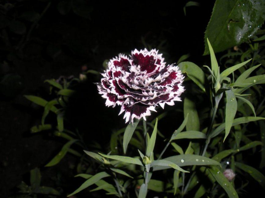 Однолетняя гвоздика сорта Къянти