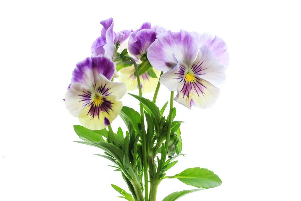 Картинка анютины глазки цветок на белом фоне, открытка