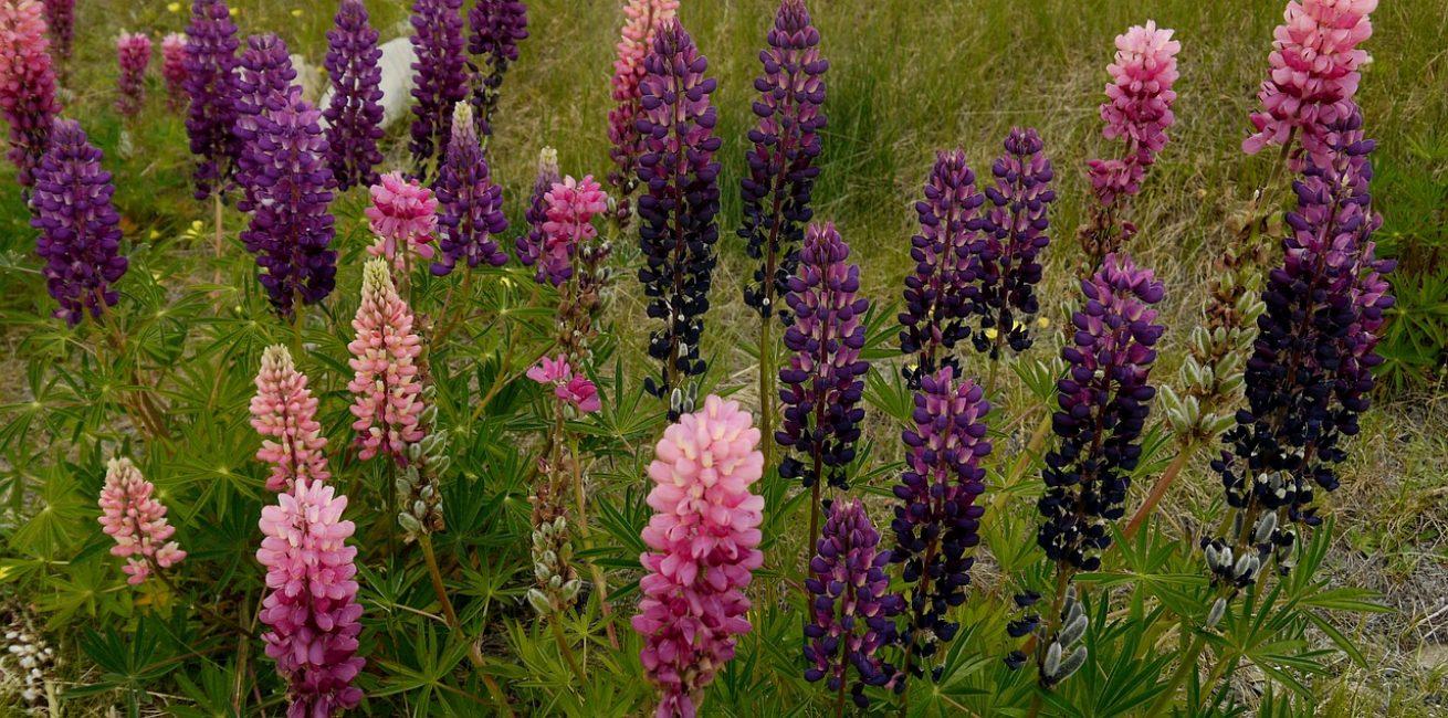 Люпин относится к самым выносливым растениям сада и клумб, он прекрасно сможет выжить без подкормок и полива