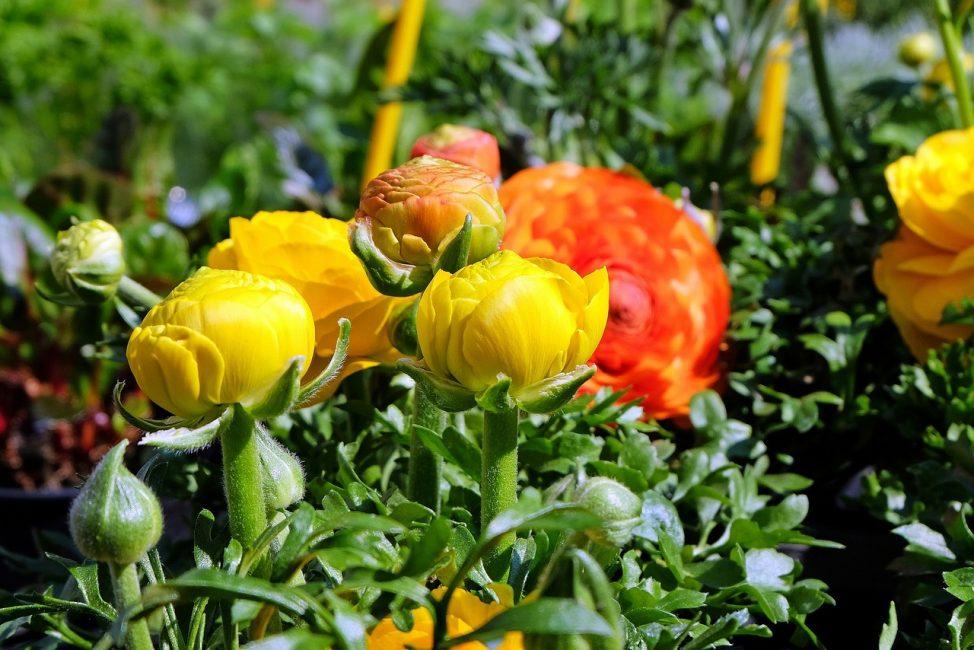 Теплолюбивое растение не переносит морозов. лютик ранункулюс