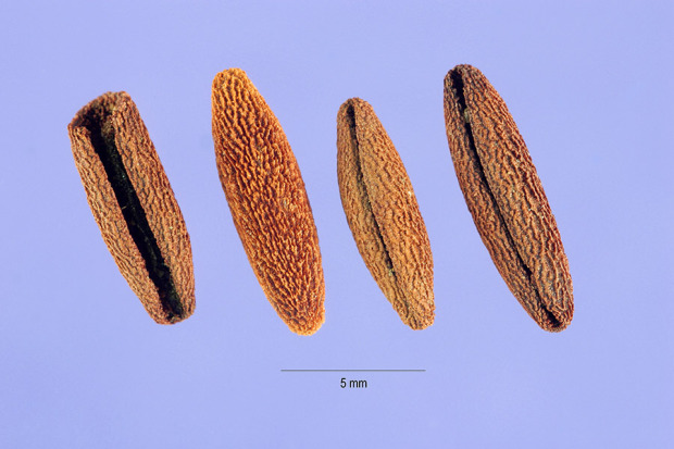 Семена барвинка