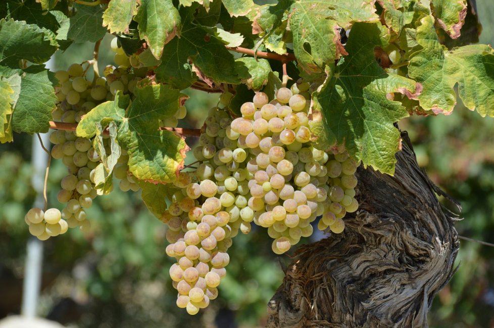 Виноград используется активно в народной медицине.