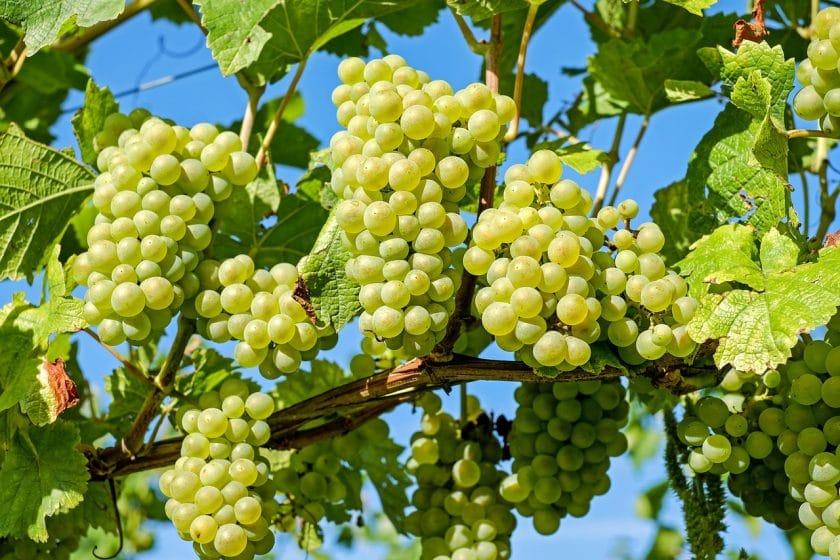 Виноград-видео по выращиванию и уходу 243