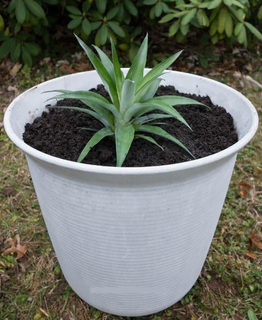 Горшок для ананаса приемлемых размеров