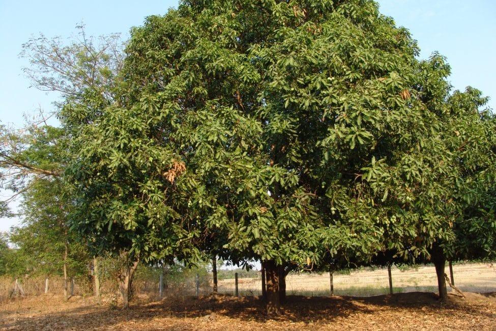 Манговое дерево средних размеров
