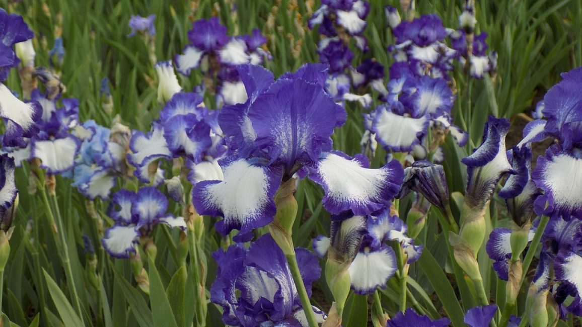 Красивые цветки ирисов очаровывают своей воздушностью и нежностью