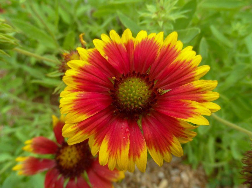 Красивый заморский цветок, с которым связаны сказания и легенды. гайлардия посадка и уход