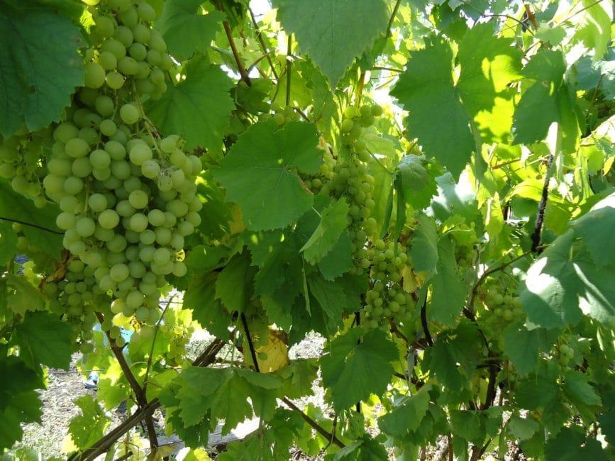Алешенькин сорт винограда