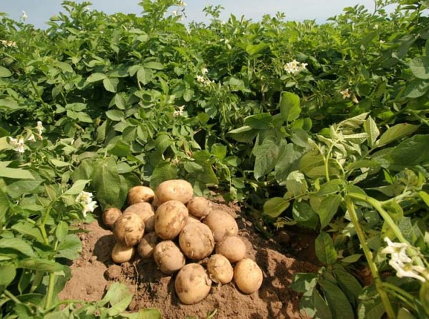 Куст картофеля сорта Невский