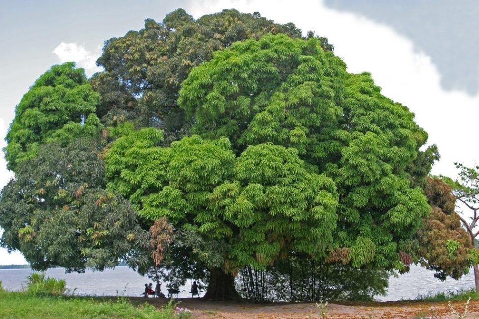 Большое манговое дерево. Возраст около 300 лет