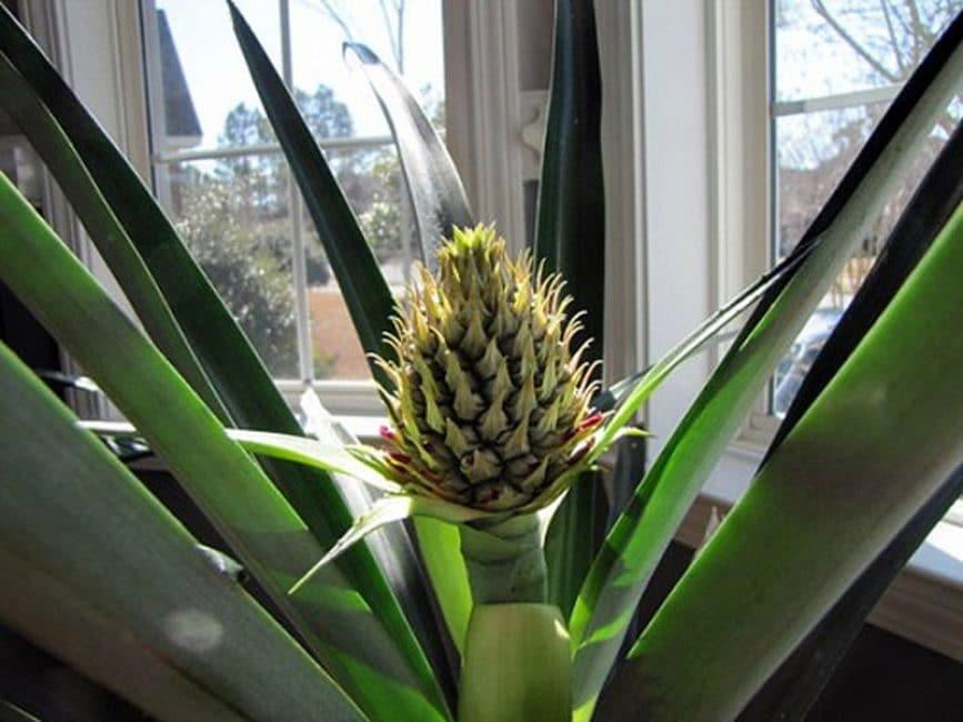 Соцветие ананаса, выращиваемого в комнатных условиях