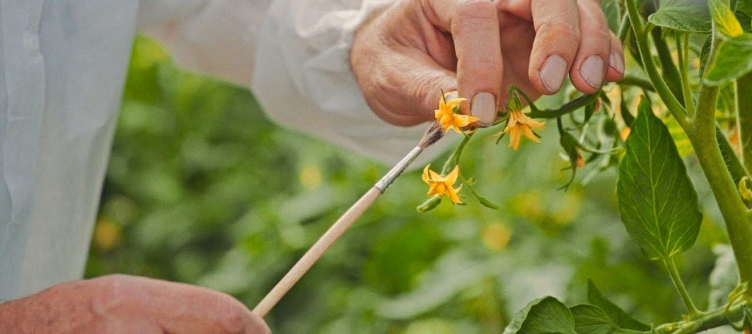 Тепличным томатом иногда необходимо помочь с опылением