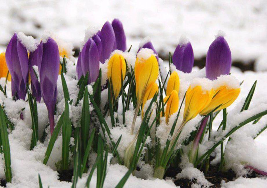 Крокусы красивые и необычные цветы