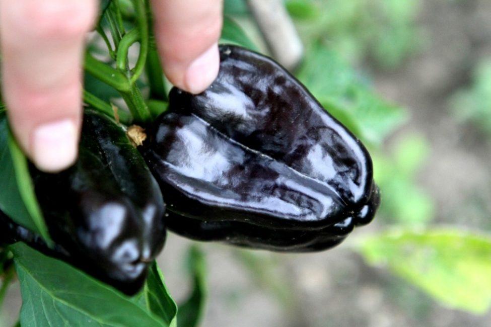 Перец чёрного цвета