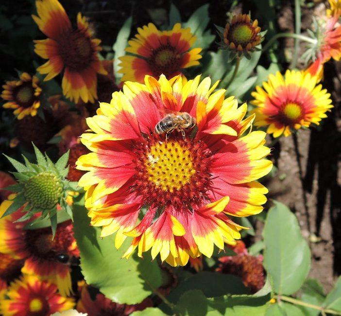 Строение цветка, образующего соцветие корзинку. гайлардия посадка и уход