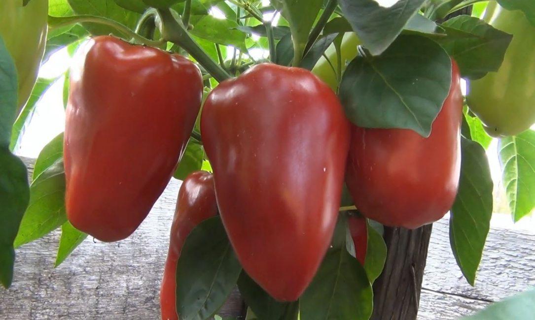 Сорт Буратино с плодами разной степени спелости