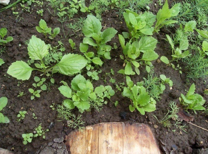 Этот метод подразумевает посадку семян сразу в открытый грунт. Сеять их можно как весной, так и осенью.