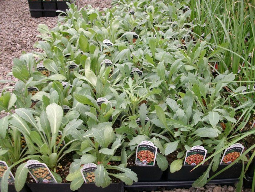 Маленькие растения, полученные из семян и готовые к высадке в грунт. гайлардия посадка и уход